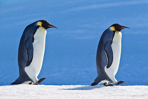 BRD 05 KH0043 01 © Kimball Stock Two Emperor Penguins Walking On Ice Antarctica