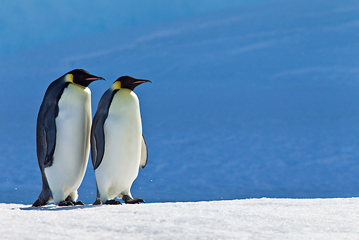 BRD 05 KH0044 01 © Kimball Stock Two Emperor Penguins Walking On Ice Antarctica