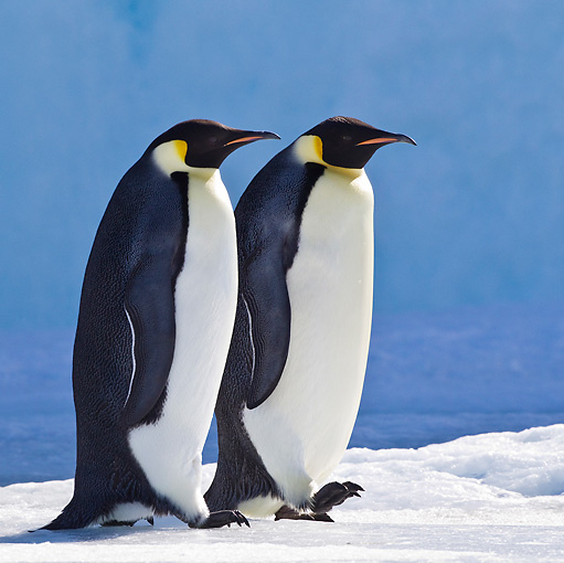 BRD 05 KH0045 01 © Kimball Stock Two Emperor Penguins Walking On Ice Antarctica