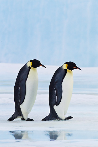 BRD 05 KH0046 01 © Kimball Stock Two Emperor Penguins Walking On Ice Antarctica