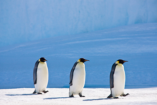 BRD 05 KH0048 01 © Kimball Stock Three Emperor Penguins Walking On Ice Antarctica
