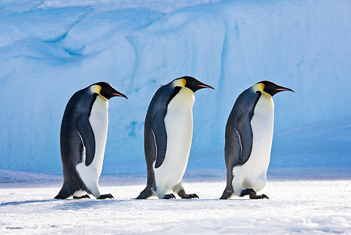 BRD 05 KH0049 01 © Kimball Stock Three Emperor Penguins Walking On Ice Antarctica