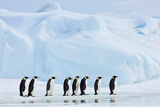 BRD 05 KH0052 01 © Kimball Stock Group Of Emperor Penguins Walking On Ice Antarctica