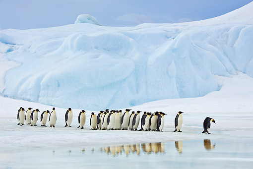 BRD 05 KH0053 01 © Kimball Stock Group Of Emperor Penguins Standing On Sea Ice By Reflections Antarctica