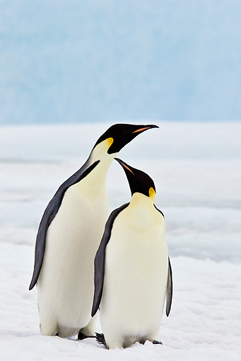 BRD 05 KH0055 01 © Kimball Stock Two Emperor Penguins Standing On Sea Ice Antarctica