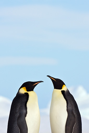 BRD 05 KH0056 01 © Kimball Stock Two Emperor Penguins Standing On Sea Ice Antarctica