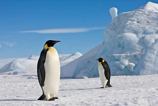 BRD 05 KH0057 01 © Kimball Stock Two Emperor Penguins Standing On Sea Ice Antarctica