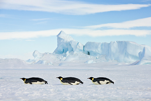 BRD 05 KH0059 01 © Kimball Stock Three Emperor Penguins Tobogganing On Ice Antarctica