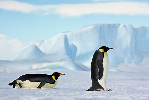 BRD 05 KH0060 01 © Kimball Stock Two Emperor Penguins Tobogganing And Walking On Ice Antarctica