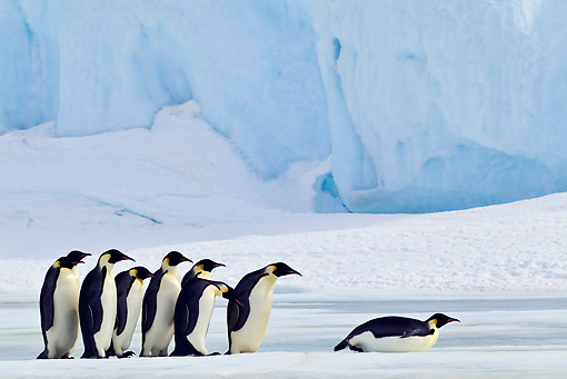 BRD 05 KH0062 01 © Kimball Stock Group Of Emperor Penguins Watching Another Tobogganing On Ice Antarctica
