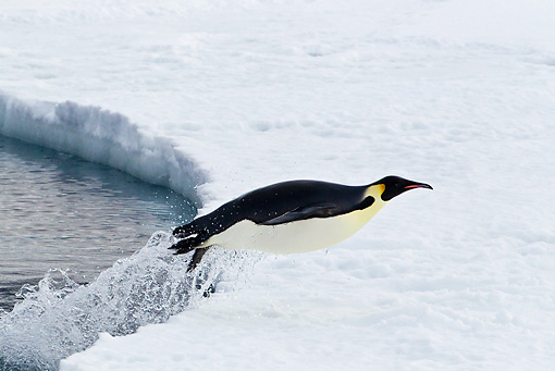 BRD 05 KH0063 01 © Kimball Stock Emperor Penguin Jumping Out Of Water Onto Ice Antarctica