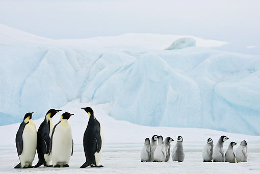BRD 05 KH0064 01 © Kimball Stock Emperor Penguins And Chicks Standing In Groups On Ice Antarctica