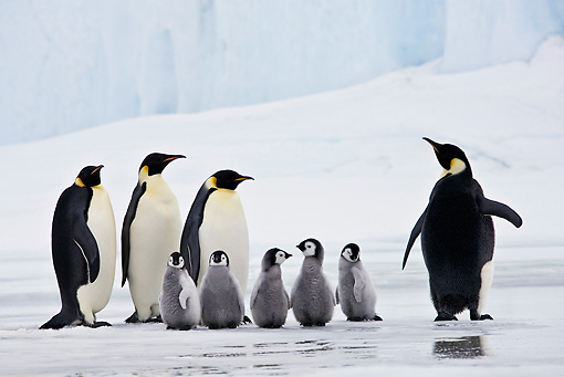 BRD 05 KH0065 01 © Kimball Stock Emperor Penguins And Chicks Standing On Ice Antarctica