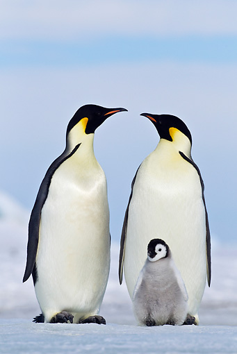 BRD 05 KH0066 01 © Kimball Stock Two Emperor Penguins And Chick Standing On Ice Antarctica
