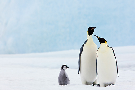 BRD 05 KH0067 01 © Kimball Stock Two Emperor Penguins And Chick Standing On Ice Antarctica