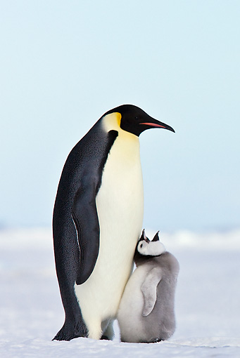BRD 05 KH0068 01 © Kimball Stock Emperor Penguin With Chick Begging For Food On Ice Antarctica