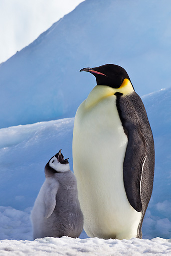 BRD 05 KH0069 01 © Kimball Stock Emperor Penguin With Chick Begging For Food On Ice Antarctica