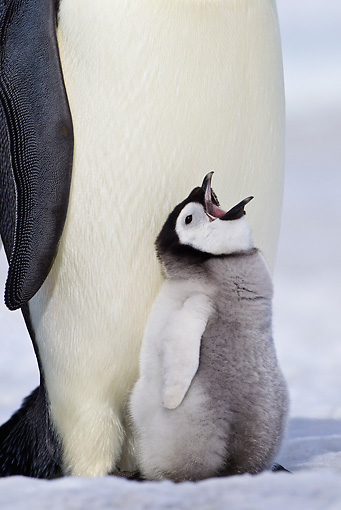 BRD 05 KH0070 01 © Kimball Stock Close-Up Of Emperor Penguin With Chick Begging For Food On Ice Antarctica