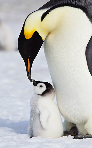 BRD 05 KH0071 01 © Kimball Stock Close-Up Of Emperor Penguin Nuzzling Chick On Ice Antarctica