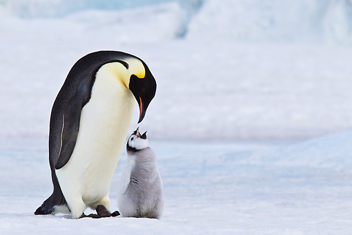 BRD 05 KH0072 01 © Kimball Stock Close-Up Of Emperor Penguin With Chick Begging For Food On Ice Antarctica