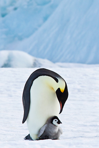 BRD 05 KH0073 01 © Kimball Stock Emperor Penguin Carrying Chick On Feet Antarctica