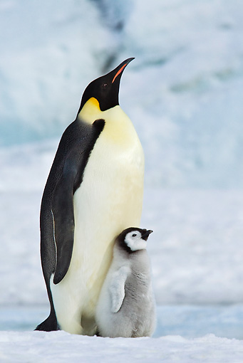 BRD 05 KH0074 01 © Kimball Stock Emperor Penguin Carrying Chick On Feet Antarctica