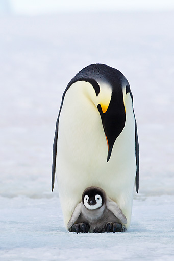 BRD 05 KH0075 01 © Kimball Stock Emperor Penguin Carrying Chick On Feet Antarctica