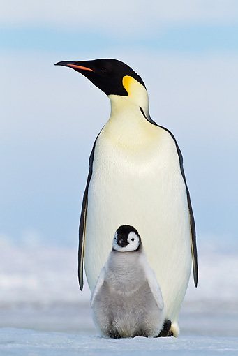 BRD 05 KH0076 01 © Kimball Stock Emperor Penguin Carrying Chick On Feet Antarctica