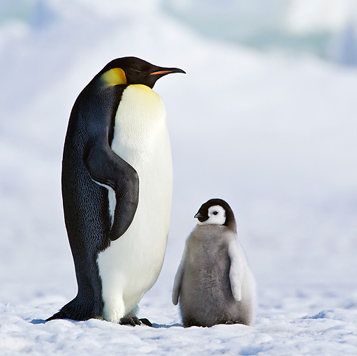BRD 05 KH0079 01 © Kimball Stock Emperor Penguin Standing On Ice With Chick Antarctica