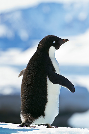 BRD 05 KH0080 01 © Kimball Stock Back View Of Adelie Penguin Standing On Ice Weddell Sea Antarctica