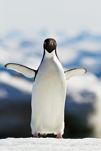 BRD 05 KH0081 01 © Kimball Stock Adelie Penguin Standing On Ice And Spreading Wings Weddell Sea Antarctica