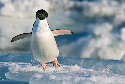 BRD 05 KH0082 01 © Kimball Stock Adelie Penguin Waddling On Ice Weddell Sea Antarctica