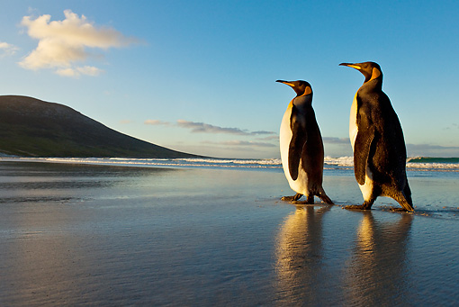 BRD 05 KH0084 01 © Kimball Stock Two King Penguins Waddling On Beach Falkland Islands