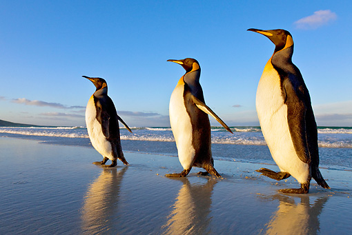 BRD 05 KH0089 01 © Kimball Stock Three King Penguins Waddling On Beach Falkland Islands