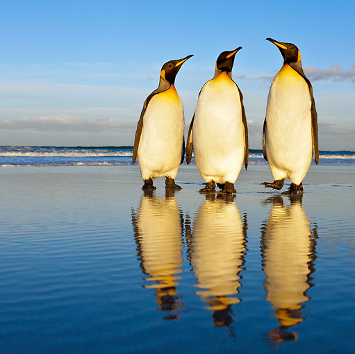 BRD 05 KH0091 01 © Kimball Stock Three King Penguins Standing On Beach Falkland Islands