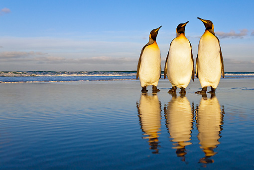 BRD 05 KH0092 01 © Kimball Stock Three King Penguins Standing On Beach Falkland Islands