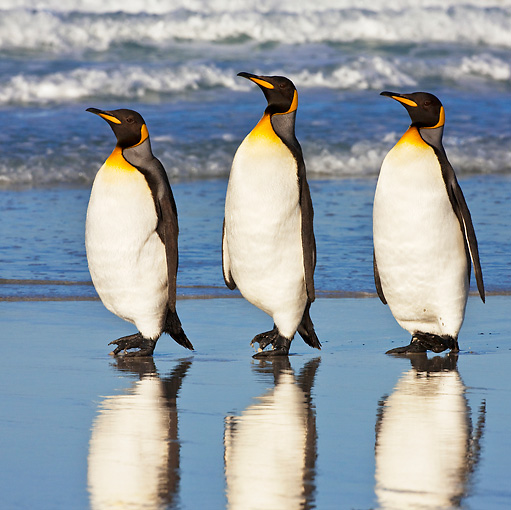 BRD 05 KH0093 01 © Kimball Stock Three King Penguins Waddling On Beach Falkland Islands