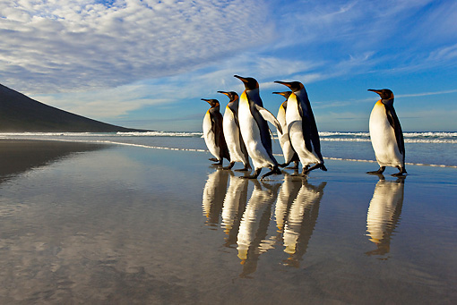 BRD 05 KH0098 01 © Kimball Stock Group Of King Penguins Waddling On Beach Falkland Islands