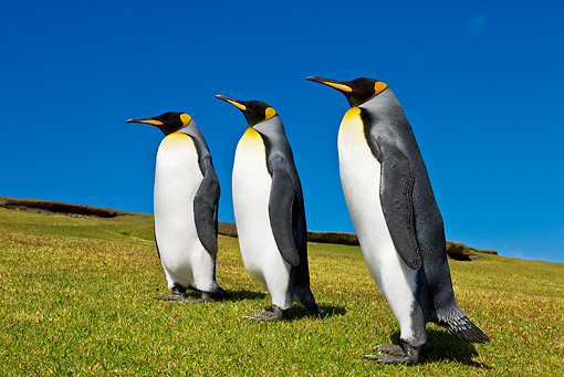 BRD 05 KH0100 01 © Kimball Stock Group Of King Penguins Waddling On Beach Falkland Islands