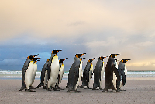 BRD 05 KH0102 01 © Kimball Stock Group Of King Penguins Waddling On Beach Falkland Islands