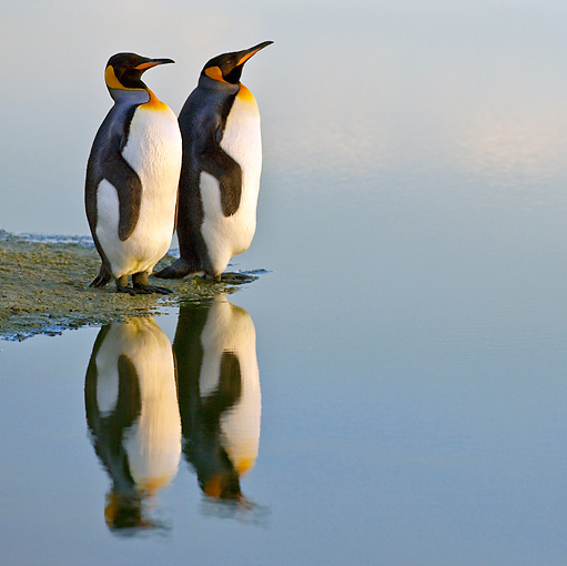 BRD 05 KH0104 01 © Kimball Stock Two King Penguins Standing At Edge Of Water Falkland Islands