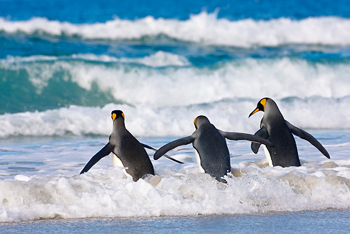 BRD 05 KH0105 01 © Kimball Stock Three King Penguins Running Into Ocean Falkland Islands