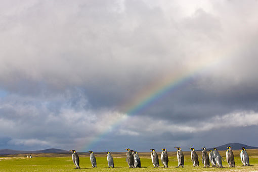 BRD 05 KH0108 01 © Kimball Stock Group Of King Penguins At Walking Under Rainbow Falkland Islands