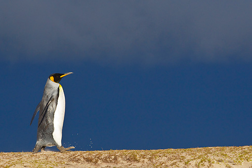BRD 05 KH0112 01 © Kimball Stock King Penguin Walking On Sand Dune Under Stormy Sky Falkland Islands