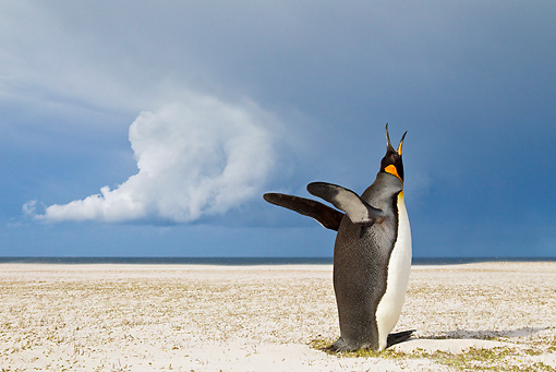 BRD 05 KH0116 01 © Kimball Stock King Penguin Calling Under Stormy Sky Falkland Islands