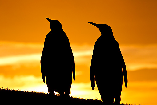 BRD 05 KH0121 01 © Kimball Stock Silhouette Of Two King Penguins At Sunset Falkland Islands