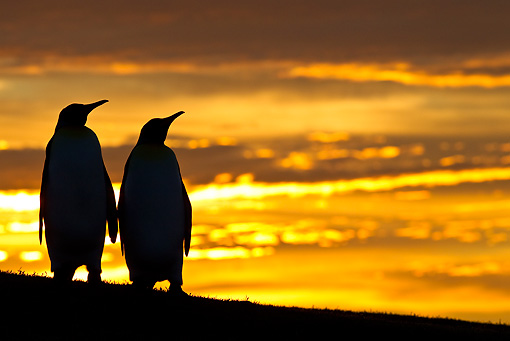 BRD 05 KH0122 01 © Kimball Stock Silhouette Of Two King Penguins At Sunset Falkland Islands