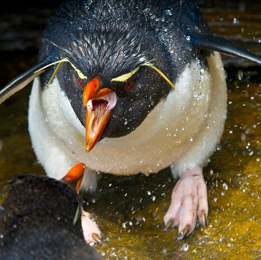 BRD 05 KH0125 01 © Kimball Stock Rockhopper Penguin Showering And Threatening Another Penguin