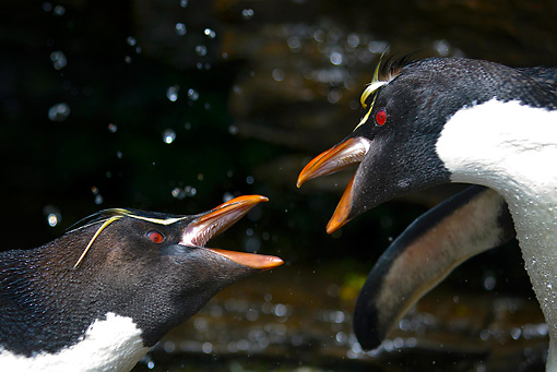 BRD 05 KH0135 01 © Kimball Stock Close-Up Of Rockhopper Penguins Fighting For Best Spot In Freshwater Shower