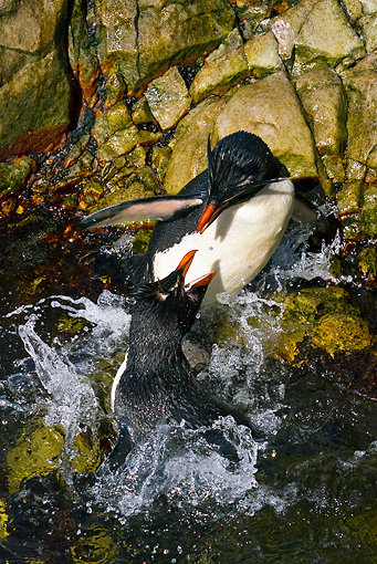 BRD 05 KH0137 01 © Kimball Stock Two Rockhopper Penguins Fighting For Best Spot In Natural Pool